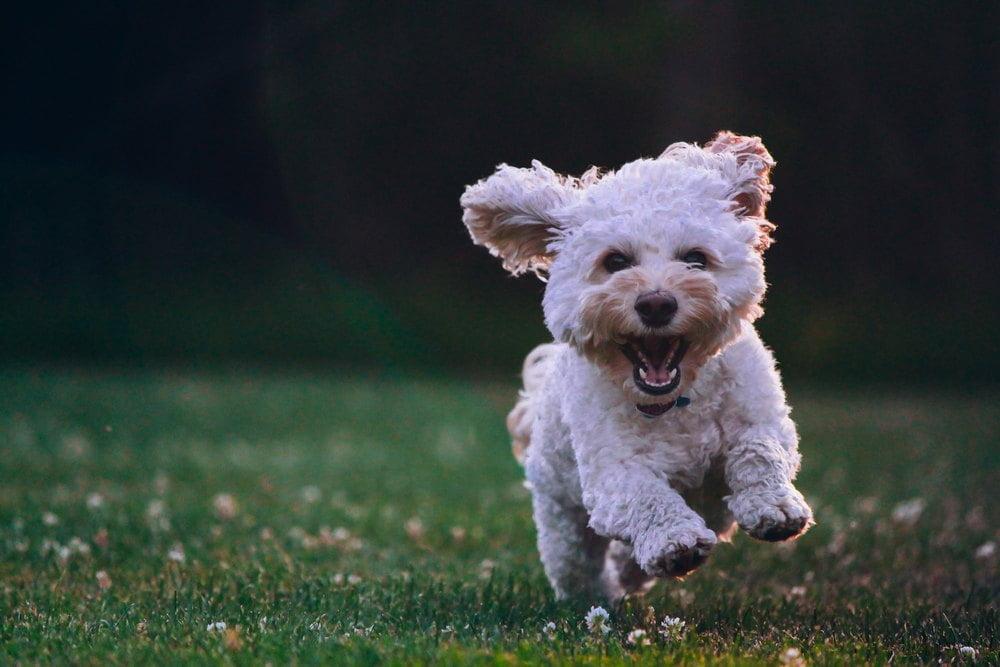 Se på fotball med din hund